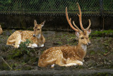 Deer at the Hilo Zoo
