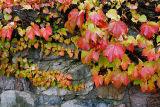 97 Red Ivy on rocks.jpg