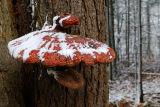 97 Red Fungus on Tree.jpg