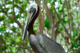 113 Brown Pelican.jpg