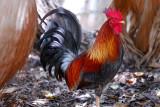 113 Rooster.jpg