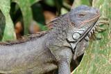 113 Green Iguana.jpg