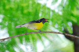 117 Bananaquit singing.jpg