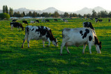 129 Cows and Sisters 2.jpg
