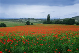 131 Assisi Poppies.jpg