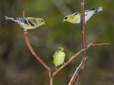 118 three Goldfinches.jpg