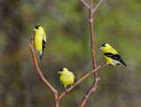 118 three male Goldfinches.jpg
