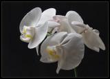 orkide9_b.jpg