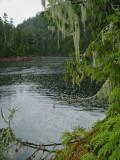 Cedar Rain