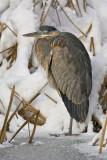 Jericho pond Blue heron
