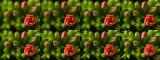 Kalanchoe 1 frames.jpg