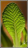 Primula leaf