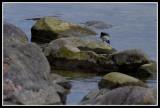 Motacilla alba alba (Sädesärla)