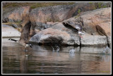 Branta canadensis (Kanadagås) & Anser anser (Grågås)
