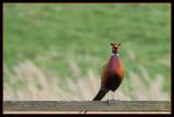 Pheasant (Fasantupp)