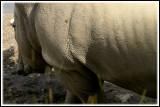 Rhinos for dogears
