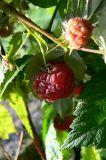the last raspberry