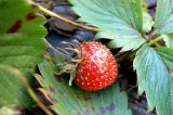 10 nov the last strawberry