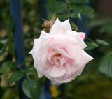 rose pale.