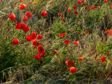 poppies- coquelicots.
