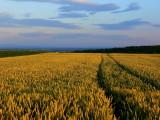 le champ de blé.