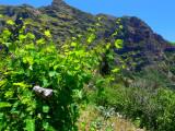 la vigne.
