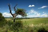 le vieil arbre.