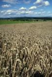 les blés.