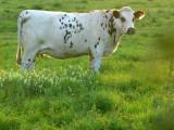une vache normande