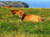 cows on the cliffs.