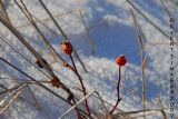 Rose Hips A Hint of Winter Color