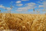 Blue Sky Golden Wheat