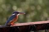Small blue kingfisher 01