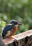 Small blue kingfisher 02