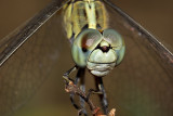 Dragon fly - face to face