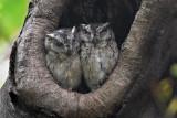 Indian Scops-owl pair 01