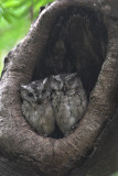 Indian Scops-owl pair 02