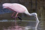 Roseate Spoonbill eating