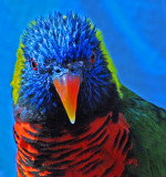 Colorful Lorikeet!