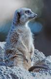 Meerkat on guard duty!