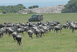 Wildebeests  thinking of migrating!