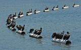Lineup of Cormorants, Lake Merritt