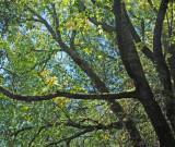 Oak branches, Briones