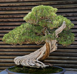 Bonsai: California Juniper.
