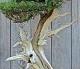 Unusual trunk on Bonsai.