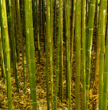 Special bamboo section.