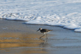 Sandpiper keeping out of water.