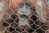 Orangutan behind bars!