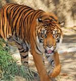 Handsome tiger!