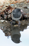 Junco Relection